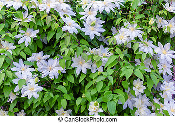 clematis - the flowers of clematis close up