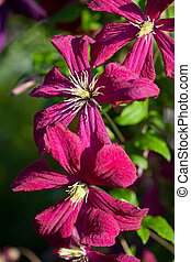 Clematis flowering plant blossoms in the summer garden