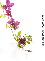 clematis - beautiful blooming clematis on a white background