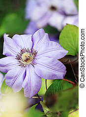 Clematis - Macro of a violet clematis with extreme shallow...