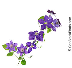 clematis - beautiful purple clematis flower isolated on...