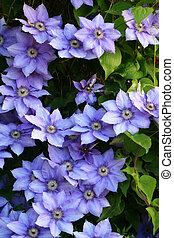 clematis - beautiful bush of the blue clematis