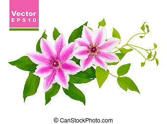 Clematis. Vector illustration.