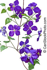 clematis vines on white background - clematis vines isolated...