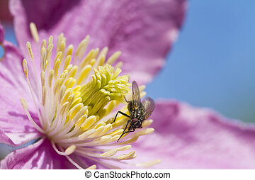 Clematis with a Fly