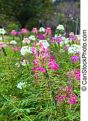 Cleome flower field with leaf