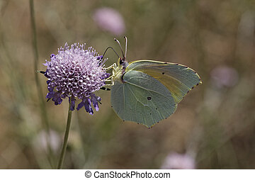Cleopatra butterfly from Europe