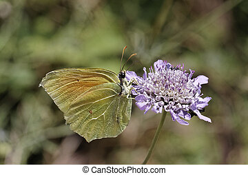 Cleopatra butterfly from Europe - Gonepteryx cleopatra,...
