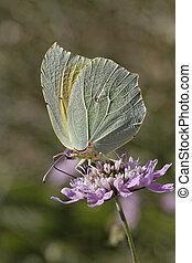 Cleopatra butterfly (Gonepteryx)