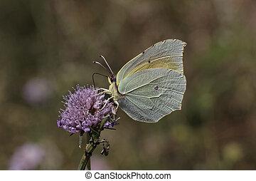 Cleopatra butterfly, Gonepteryx