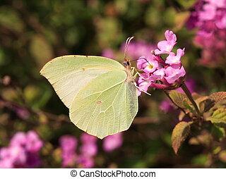 Cleopatra Butterfly - Gonopteryx Cleopatra
