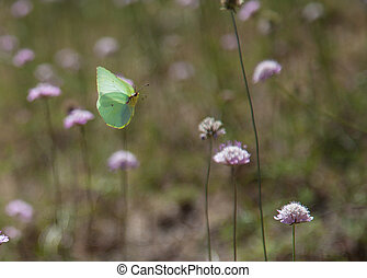 cleopatra butterfly in flight