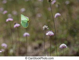 cleopatra butterfly in flight