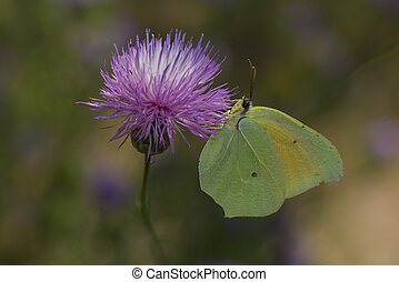 Cleopatra butterfly nectaring