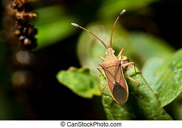 Cletus trigonus (Hemiptera) on a green leaf