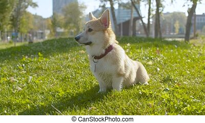 Clever corgi dog sitting on the grass - Close up good clever...