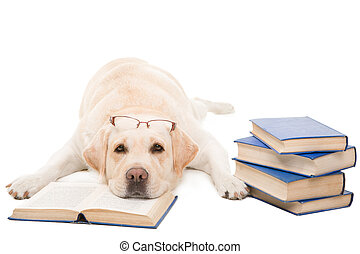 clever dog, pale-yellow labrador retriever with glasses...