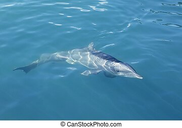 Clever dolphin swimming in blue swimming in blue turquoise water, beauty