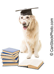 clever dog, pale-yellow labrador retriever with hat of bachelor reading books on isolated white background