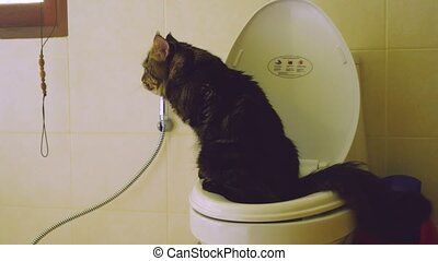 Clever Maine Coon cat uses a toilet bow. 3840x2160