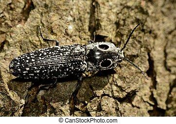 clic, eyed, escarabajo