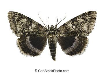 clifden, witte , blauwe , of, moth, nonpareil, achtergrond, ...