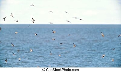 Cliff swallows flying over the wide river in summer day,...