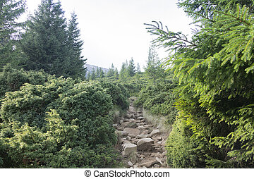 Climb to Hoverla. Mountain trail in the thickets of conifers.