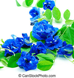 Butterfly Pea - Climber blue flower, Butterfly Pea or Blue ...