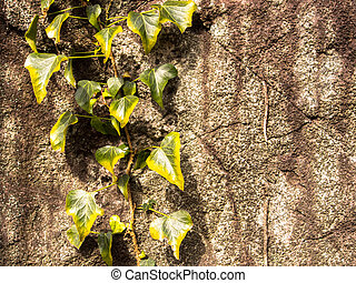 Climber plant on the rock wall