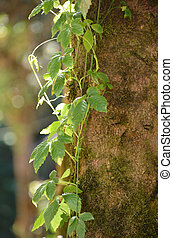 Climber tree - Fresh and green climber tree