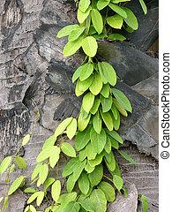 Climber - Vine climbing a palm trunk