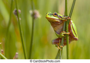 Side view of European tree frog (Hyla arborea) climbing in common rush (juncus effusus)