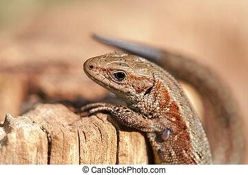 climbing Lizard - Lizard - zootoca-vivipara climbing on dead...