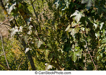 Climbing plant in a tree