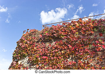 Climbing plant on old brick wall over blue sky