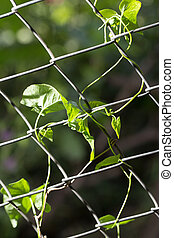 climbing plant on the fence to nature