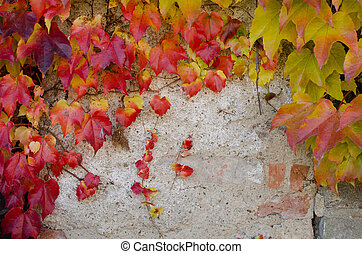 Climbing plant with colored leaves in autumn on the stone wall