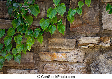 climbing plant with green leaves on the old stone wall