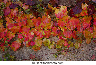 Climbing plant with multicolored leaves in autumn on the stone wall