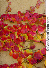 Climbing plant with red leaves in autumn on the stone wall