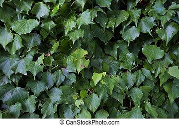 Climbing plants on a wall.