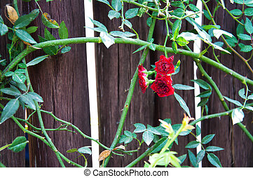Climbing red roses on a wood wall
