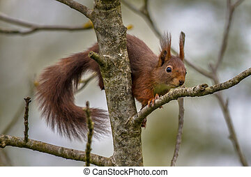 Climbing red squirrel in tree