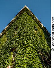 Climbing Vine on Building