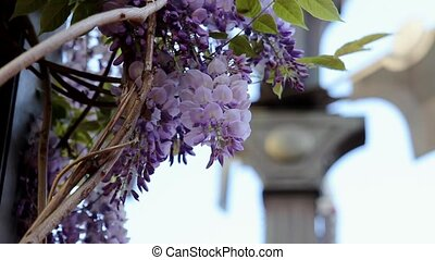 Climing Wisteria Plant 1080p - Climbing Wisteria Plant with...