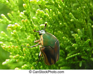 clinging green June beetle - Green June beetle clinging to ...