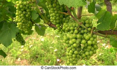 Clip of grape vines growing in a Rhine Valley vineyard,...