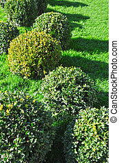 Clipped Buxus sempervirens plant in the park