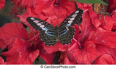 Clipper Butterfly, Feeding on Flower Nectar. hidef 1080p...